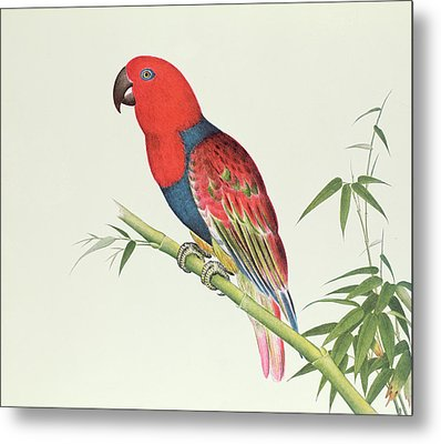 Electus Parrot On A Bamboo Shoot Metal Print by Chinese School