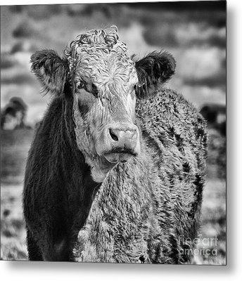Elegant Cow Metal Print