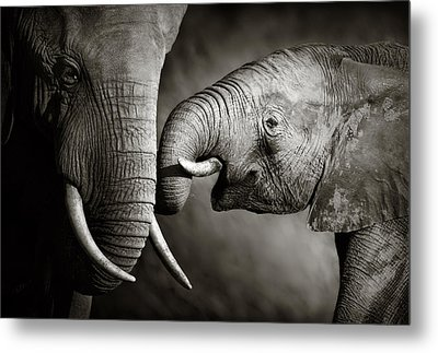 Elephant Affection Metal Print by Johan Swanepoel