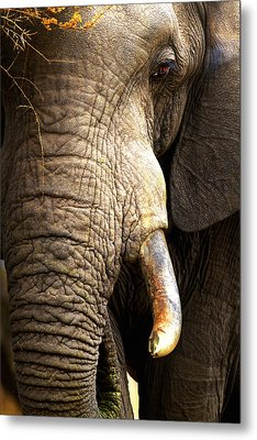Elephant Close-up Portrait Metal Print
