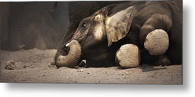 Elephant - Lying Down Metal Print by Johan Swanepoel