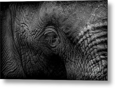 Elephant Metal Print by Michael Edwards