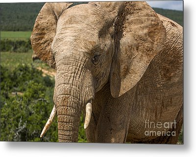 Elephant Profile Metal Print