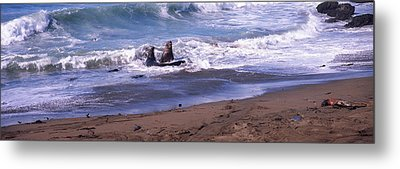 Elephant Seals In The Sea, San Luis Metal Print by Panoramic Images