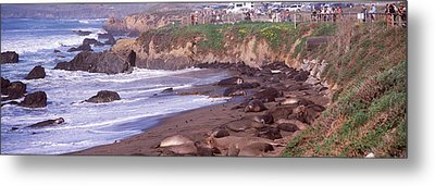 Elephant Seals On The Beach, San Luis Metal Print by Panoramic Images