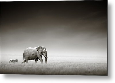 Elephant With Zebra Metal Print