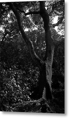 Metal Print featuring the photograph Elizabethan Gardens Tree In B And W by Greg Reed