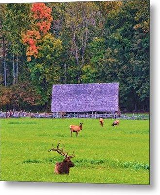 Elk During The Rut In Tennessee Metal Print by Dan Sproul