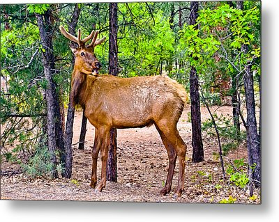 Elk In Canyon National Park Metal Print by Bob and Nadine Johnston