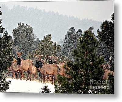 Metal Print featuring the photograph Elk In The Snowing Open by Barbara Chichester