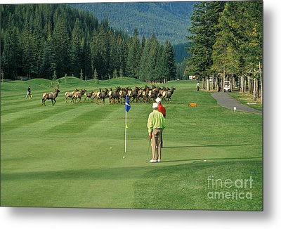 Elk On The Golf Course Metal Print by Ron Sanford