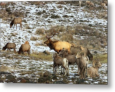 Elk With Big Horn Sheep, Oak Creek Metal Print by Tom Norring