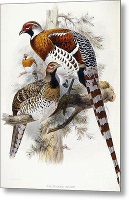 Elliot's Pheasant Metal Print