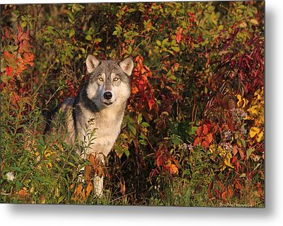 Emerging Wolf Metal Print by Daniel Behm