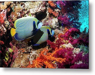 Emperor Angelfish On A Reef Metal Print by Georgette Douwma