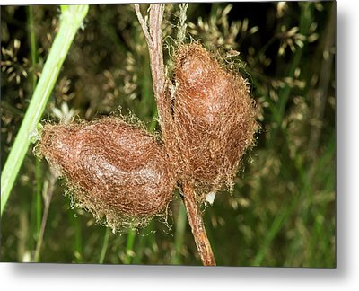 Emperor Moth Cocoons Metal Print by Bob Gibbons