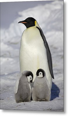 Emperor Penguin And Two Chicks Metal Print by Frederique Olivier