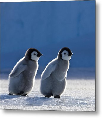 Emperor Penguin Chicks Metal Print by Jean-Louis Klein and Marie-Luce Hubert