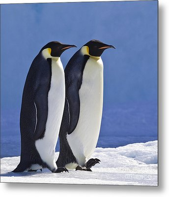Emperor Penguin Couple Metal Print by Jean-Louis Klein and Marie-Luce Hubert