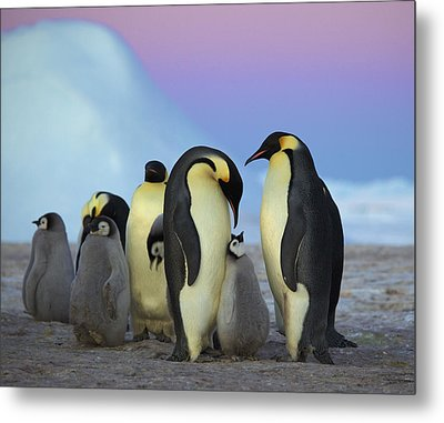 Emperor Penguin Parents And Chick Metal Print