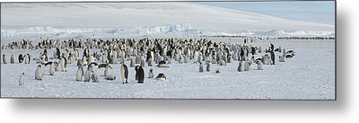 Emperor Penguins Aptenodytes Forsteri Metal Print by Panoramic Images
