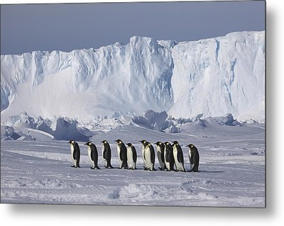 Emperor Penguins Walking Antarctica Metal Print by Frederique Olivier