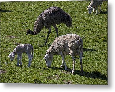 Emu And Sheep Metal Print by Garry Gay