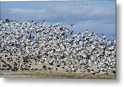 En Masse Metal Print by Loree Johnson