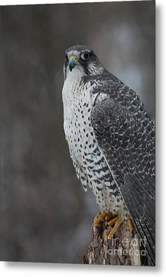 Enchanted By The Rare Gyrfalcon Metal Print by Inspired Nature Photography Fine Art Photography
