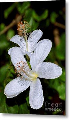 Endangered Koki'o White Hibiscus Metal Print by Aloha Art