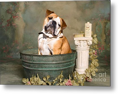 English Bulldog Portrait Metal Print by James BO  Insogna