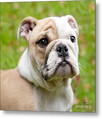 English Bulldog Puppy Metal Print by Natalie Kinnear