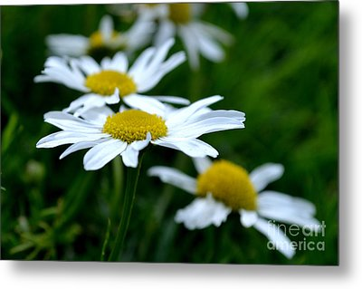 Metal Print featuring the photograph English Daisies by Scott Lyons
