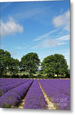 English Lavender Fields Near Selborne Hampshire Metal Print by Alex Cassels