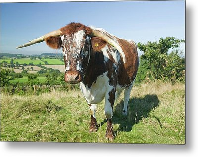 English Long Horn Cattle Metal Print