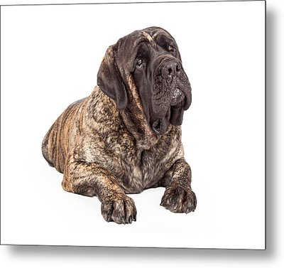 English Mastiff Dog Laying Head Tilted Metal Print by Susan Schmitz