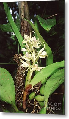 Epiphytic Orchid Metal Print by Gregory G. Dimijian