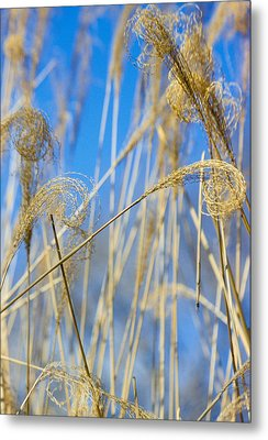 Eulalia Grass Native To East Asia Metal Print by Anonymous