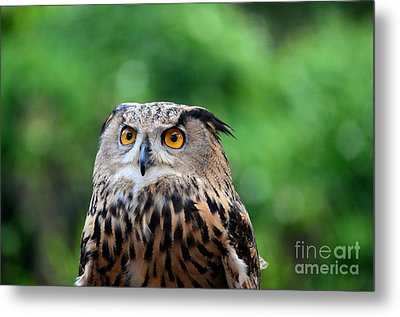 Eurasian Or European Eagle Owl Bubo Bubo Stares Intently Metal Print by Imran Ahmed