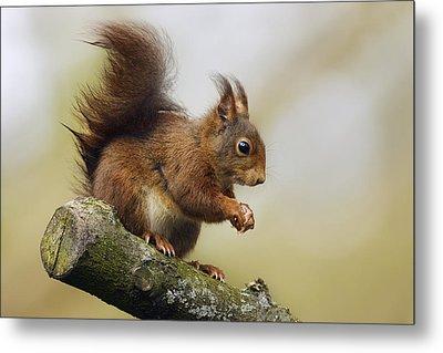 Eurasian Red Squirrel Netherlands Metal Print