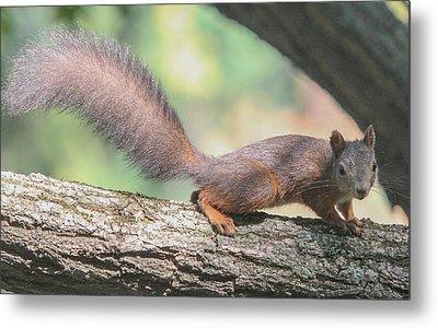 Metal Print featuring the photograph Euroasian Red Squirrel - Sciurus Vulgaris by Jivko Nakev