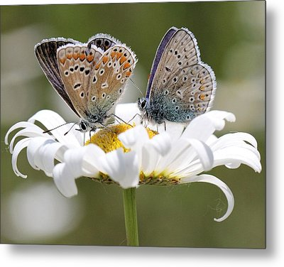 European Common Blue Butterflies Metal Print