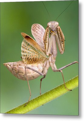European Mantid Metal Print by Robert Jensen