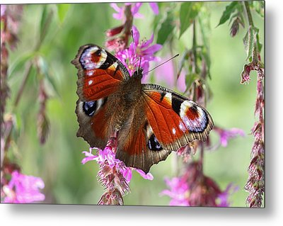 Metal Print featuring the photograph European Peacock Butterfly - Nymphalis Io by Jivko Nakev