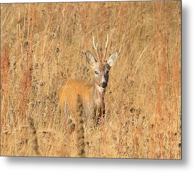 European Roe Deer Metal Print by Jivko Nakev