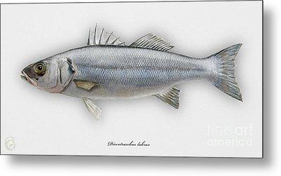 European Seabass Dicentrarchus Labrax - Bar Commun - Loup De Mer - Lubina - Havabor - Seafood Art Metal Print by Urft Valley Art