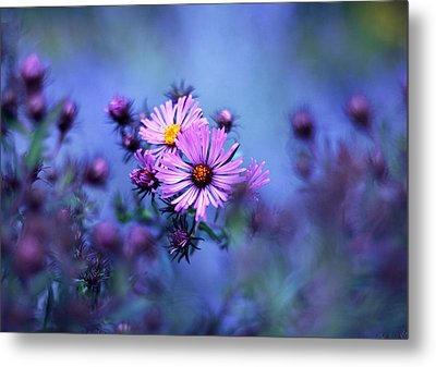 Evening Asters Metal Print by Jessica Jenney