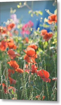 Evening Lights The Poppies Metal Print