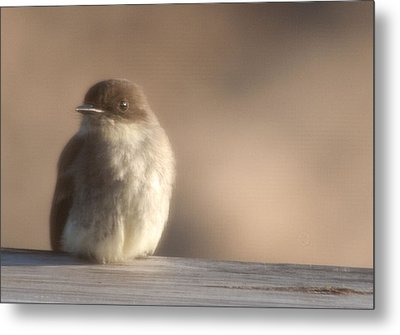 Evening Phoebe Metal Print