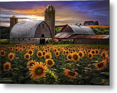 Evening Sunflowers Metal Print by Debra and Dave Vanderlaan